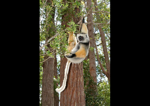 One of the world's largest lemurs, this is the endangered, and gymnastic, Diademed Sifaka.